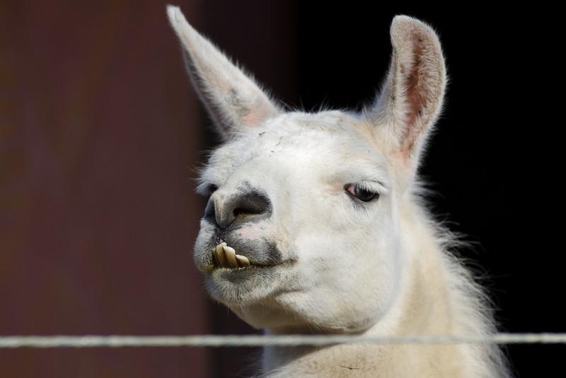 Mr Llama