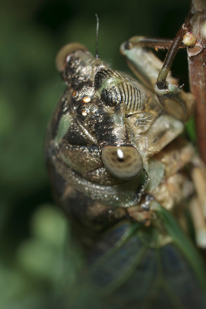 A dog-day cicada (Tibicens) holds tightly to a small branch.