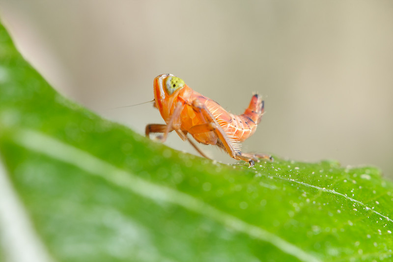 An immature leafhopper (unidentified).