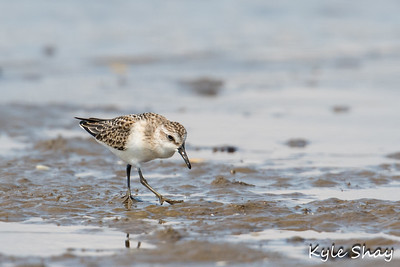 Aug 16th 2015 Semipalmated Sandpiper Wimbrel Sanderling Northern Harrier on Fence Hartlen Point
