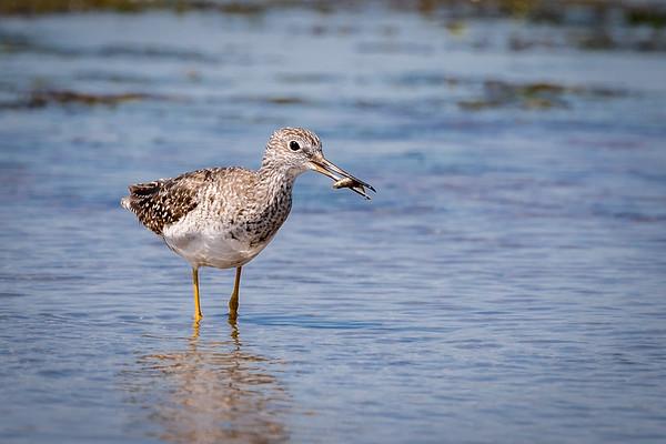 Aug 5th 2017 Lesser Yellow legs Short Billed Dowitcher Salt marsh trail