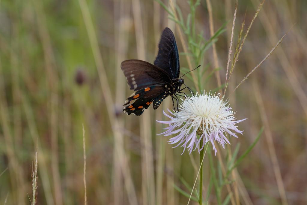 IMAGE: https://photos.smugmug.com/Animals/Austin-Area-Wildlife-Excursion/i-SJkSkT4/0/ffe20aea/XL/IMD_1382-XL.jpg