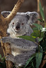Koala, or Koala Bear, Phascolarctos cinereus, Zoo, ABQ BioPark, Albuquerque, New Mexico,<br /> an Australian Arboreal Marsupial, Feeds on Eucalyptus Leaves