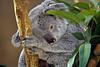 Koala, or Koala Bear, Phascolarctos cinereus, Zoo, ABQ BioPark, Albuquerque, New Mexico,<br /> an Australian Arboreal Marsupial, Feeds on Eucalyptus Leaves
