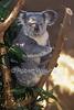 Koala, or Koala Bear, Baby barely visible, Phascolarctos cinereus, Zoo, ABQ BioPark, Albuquerque, New Mexico,<br /> an Australian Arboreal Marsupial, Feeds on Eucalyptus Leaves