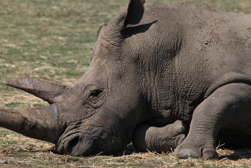 Rhino from Werrabee Open Range Zoo
