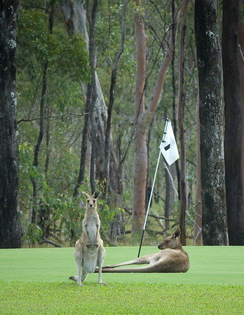"We were driving from Undara to Cairns in February 2008 and had just passed a golf course with one of the greens barely visible when my wife yelled for me to pull over and have a look... There were 2 red kangaroos sunning themselves on the green. I grabbed my camera and headed across the road thinking I had to be very quiet in order to not to scare them away. As it turns out I don't think those guys were about to move for me or any golfers who might be trying to play the hole. This was a fine summer's day and they were totally in the moment. Could have sworn I heard one shout ""Want to play through mate?"""