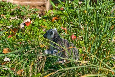 Autumn Lemurs