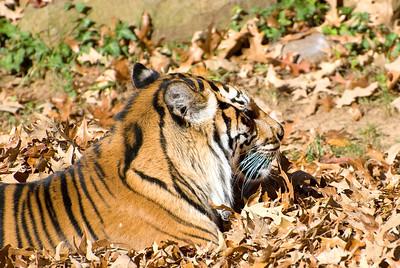 Autumn Tigers