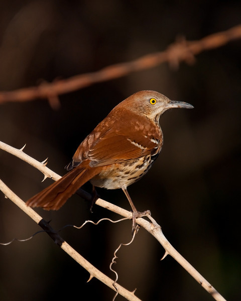 brown thrashers don't give you much time for a shot