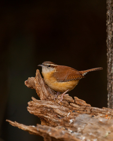 wrens don't sit still for long !