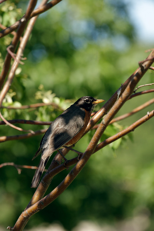 An American robin (Turdus migratorius) perches on a tree branch.