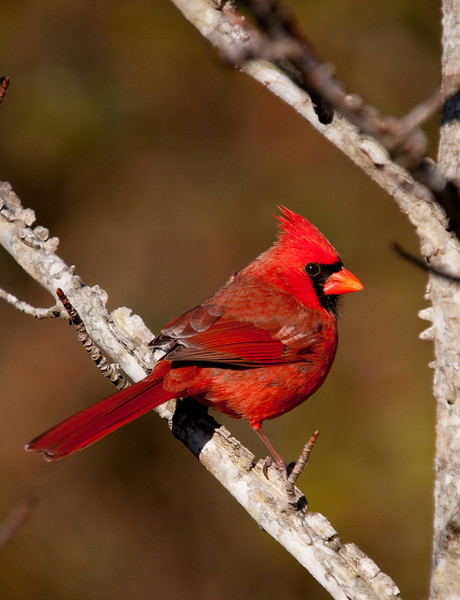 cardinal looking over his shoulder