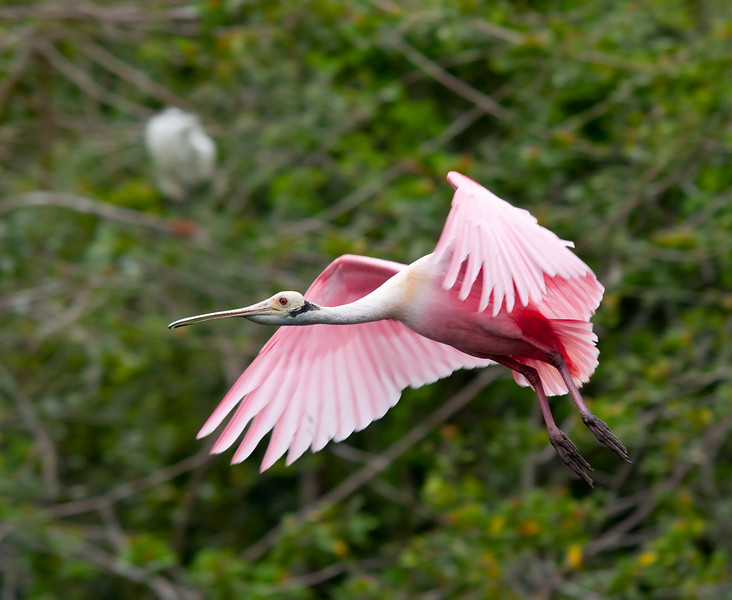 a roseate spoonbill comes in for a landing