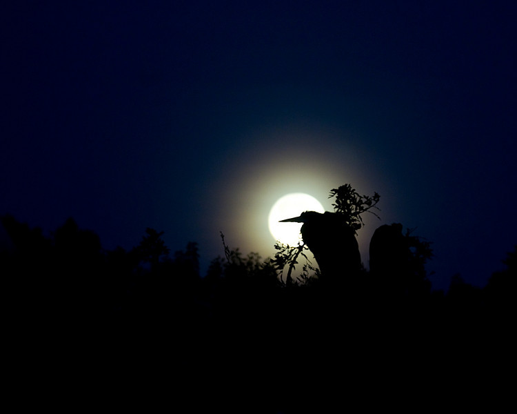 a blue heron in front of a full moon. this was a neat shot and a good reason to hit the rookery early !