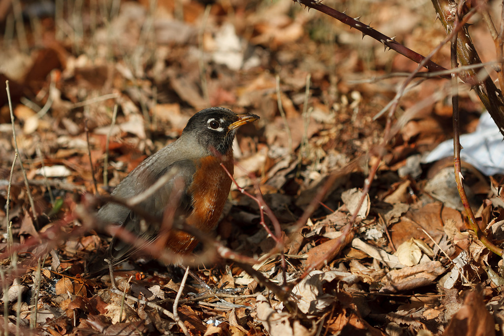 An American robin in dead leaves and dry twigs.