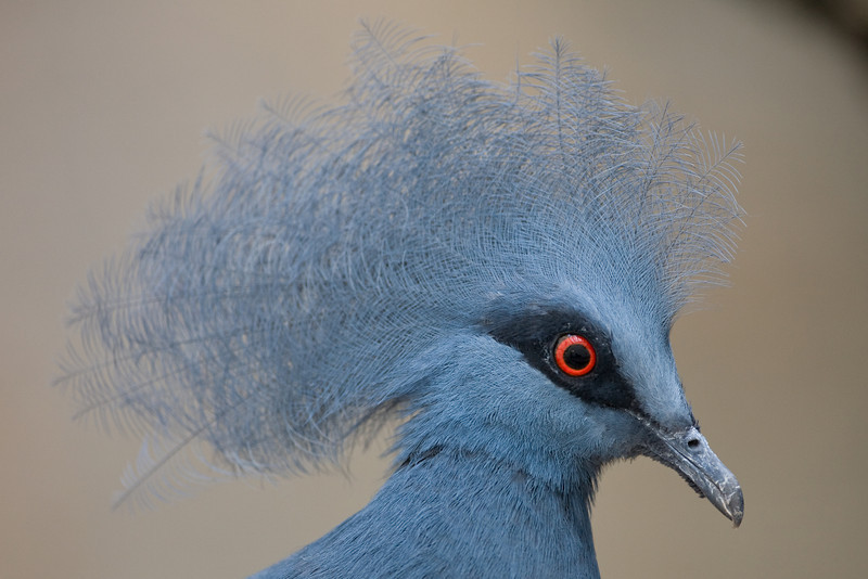 Western Crowned Pigeon