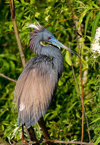 a tri colored heron with it's feathers ruffled.