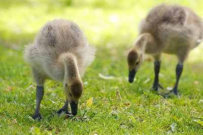 Canadian goslings forage in the grass, with their parents nearby to watch for danger.