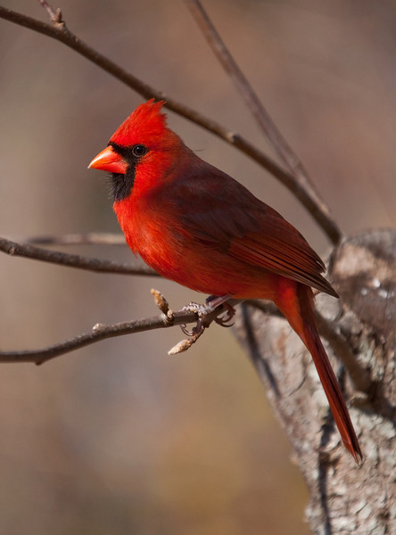 one of my favorite cardinal shots
