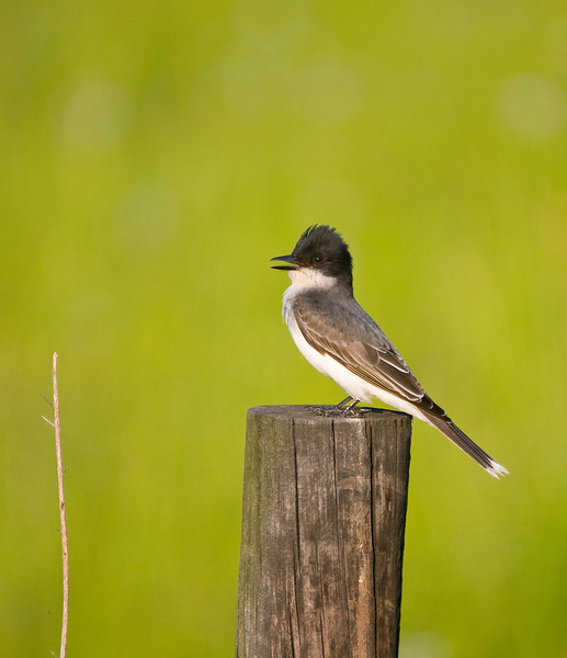 an eastern kingbird with his crest raised