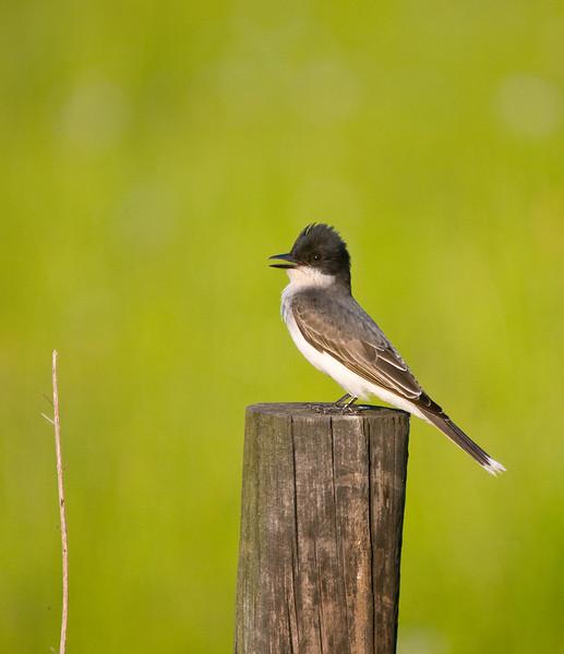 an eastern kingbird with his crest raised