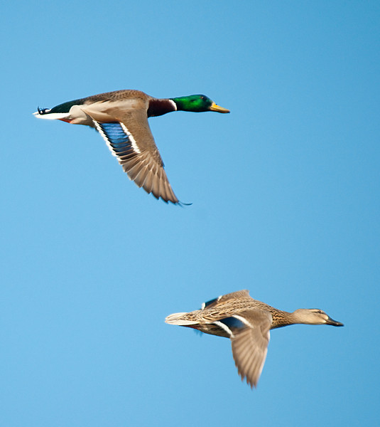 these mallards were pretty against the blue sky