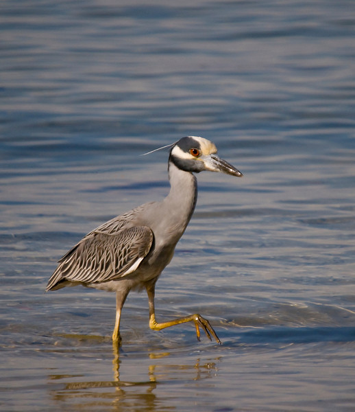 a yellow crowned night heron wades the shallows of Tampa bay