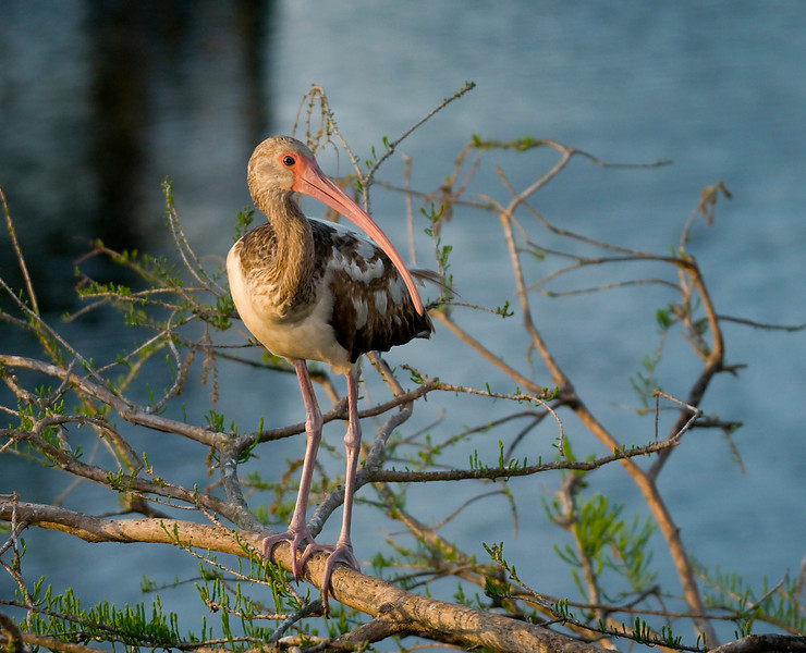 a young ibis on a cypress in the evening