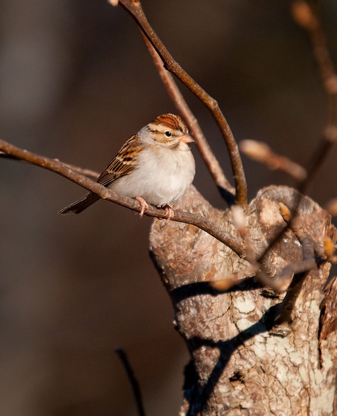 chipping sparrows are always ready to pose.