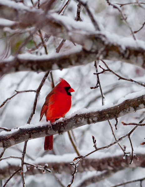 a colorful cardinal in a rare Alabama snow