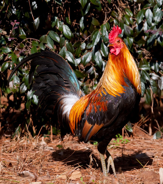 a rooster struts through the pine straw