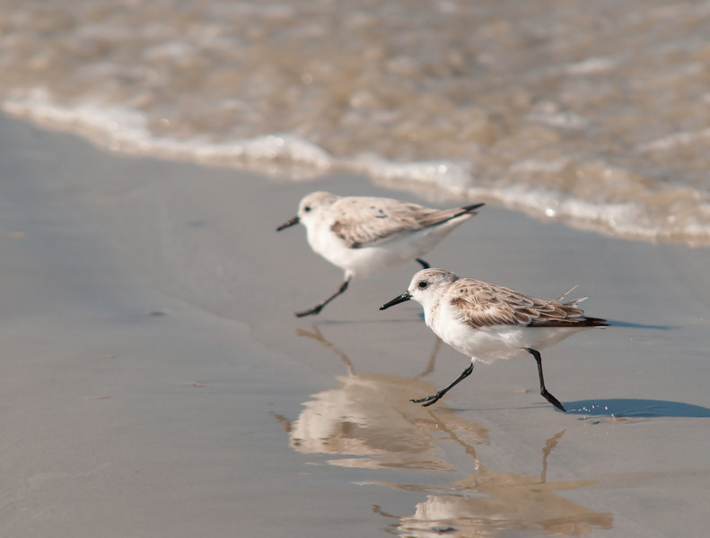 a pair of shorebirds outrun a wave