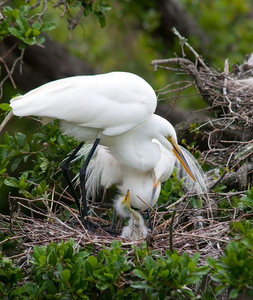 great egrets and their youngun