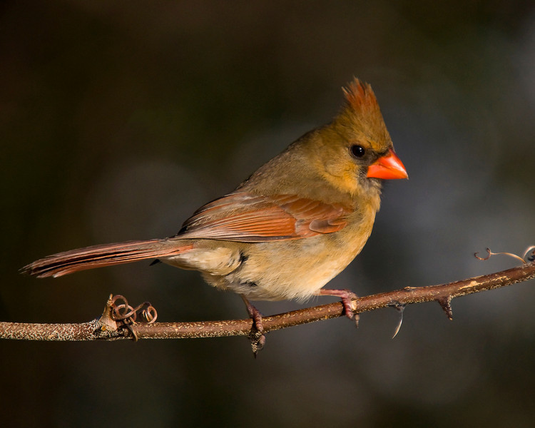 the often unappreciated female cardinal shows how pretty she can be