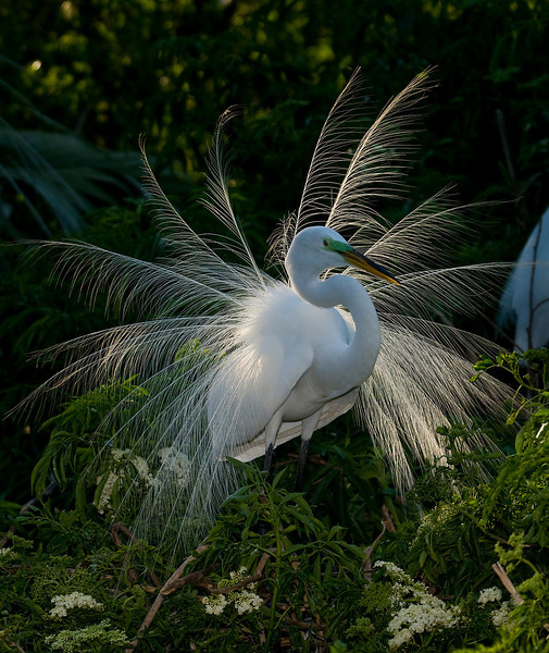 a great egret displaying