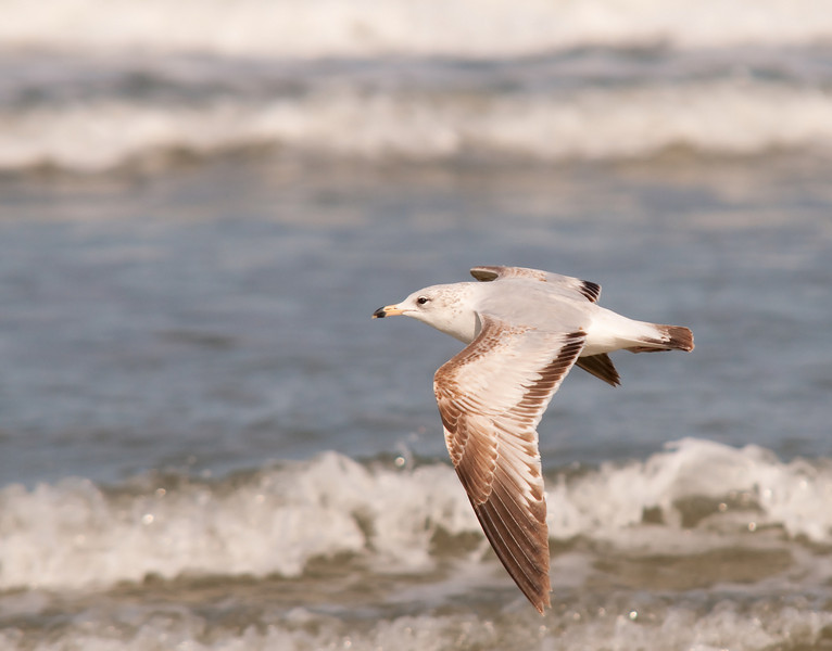 a gull drifts in the Atlantic breeze