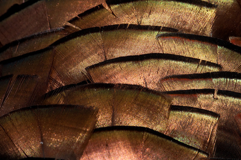 turkey feather close up