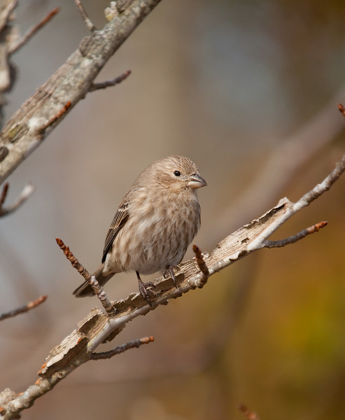 i believe this was a female purple finch.