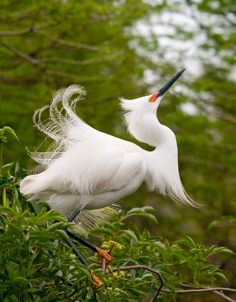 a snowy egret hunting a lady friend