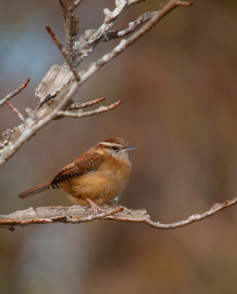 this wren just couldn't figure out what i was.