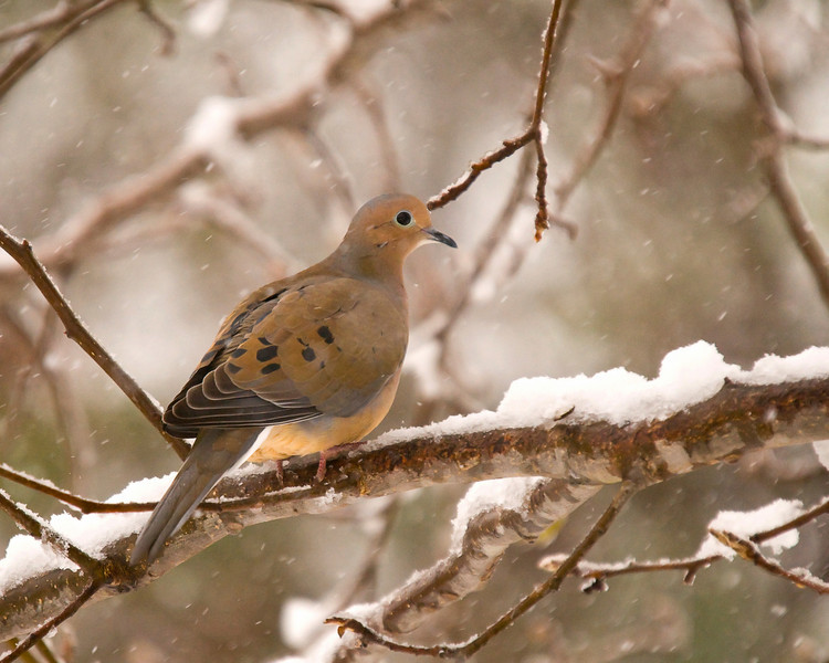a dove in a rare South Alabama snow