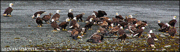 """GATHERING OF EAGLES"",Bald eagles,Wrangell Narrows,Alaska,USA."