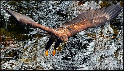 """CREEK PATROL"",an immature Bald eagle over Anan creek,Alaska,USA."