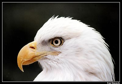 """PROUD AND BEAUTIFUL"", a bald eagle, Wrangell, Alaska,USA.-----""HRDY A KRASNY"",orel belohlavy, Wrangell, Aljaska, USA."
