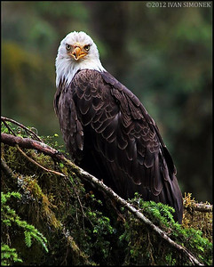 """Mr.UGLY 3"",a Bald eagle,Anan,Alaska,USA."