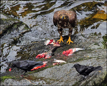 """OUTNUMBERED"",Crows teasing a young Bald eagle,Anan creek,Alaska,USA."