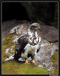 """WAITING FOR A SALMON', young bald eagle, Anan Creek, Alaska, USA.-----""CEKANI NA LOSOSA"", mlady belohlavy orel, Anan Creek, Aljaska, USA."