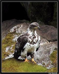"""WAITING FOR A SALMON', young bald eagle, Anan Creek, Alaska, USA.-----""CEKANI NA LOSOSA"", mlady belohlavy orel, Anan Creek, Aljaska, USA."