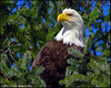 """ENJOYING THE VIEW"",a Bald eagle,Wrangell,Alaska,USA."